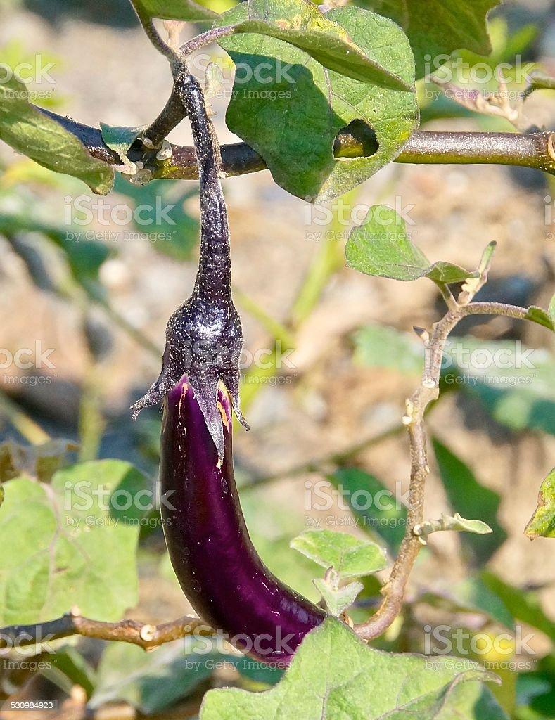 The eggplant closeup stock photo