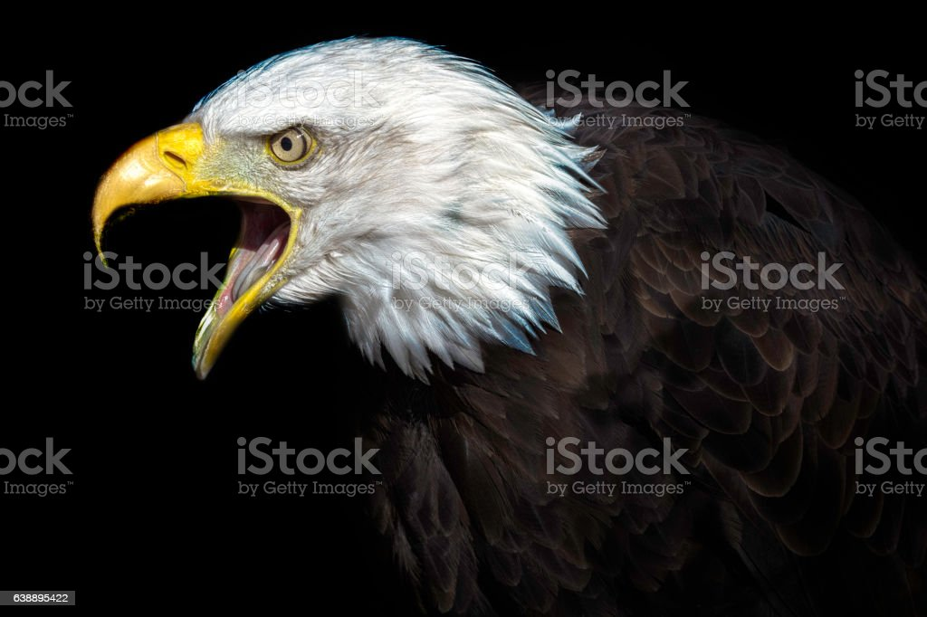 The Elder. An Old American Bald Eagle stock photo