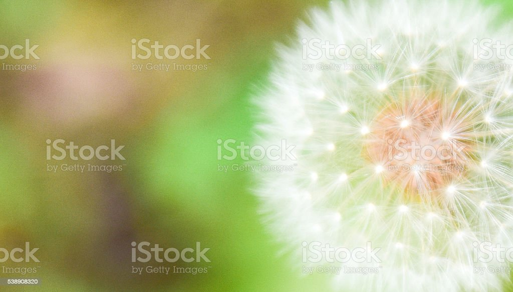 The elegance of a dandelions stock photo