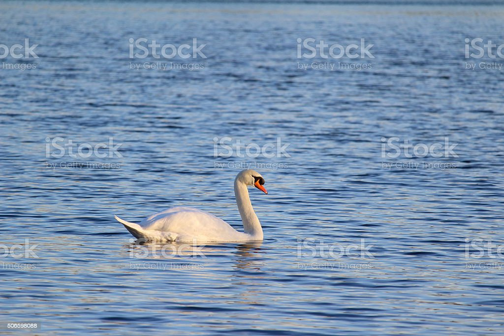 Der elegante Schwan stock photo