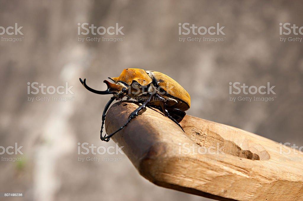 The elephant beetle at coffee plantation stock photo