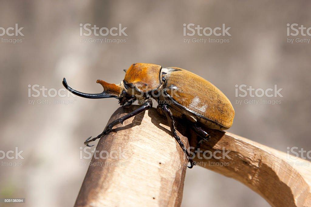 The elephant beetle stock photo