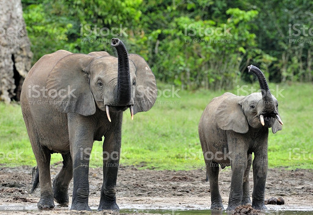 The elephant calf with elephant cow stock photo