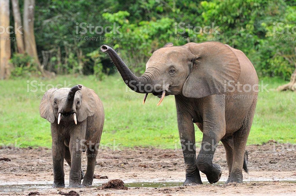 The elephant calf  with  elephant cow stock photo
