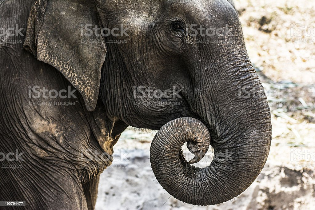 The elephant stock photo
