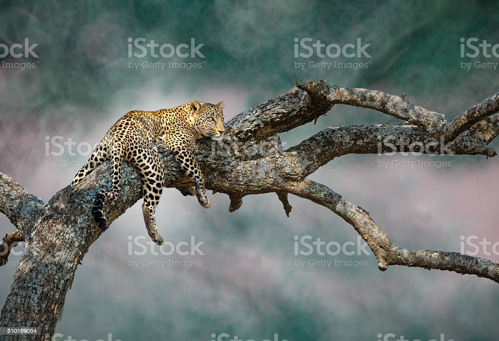 The elusive leopard. stock photo