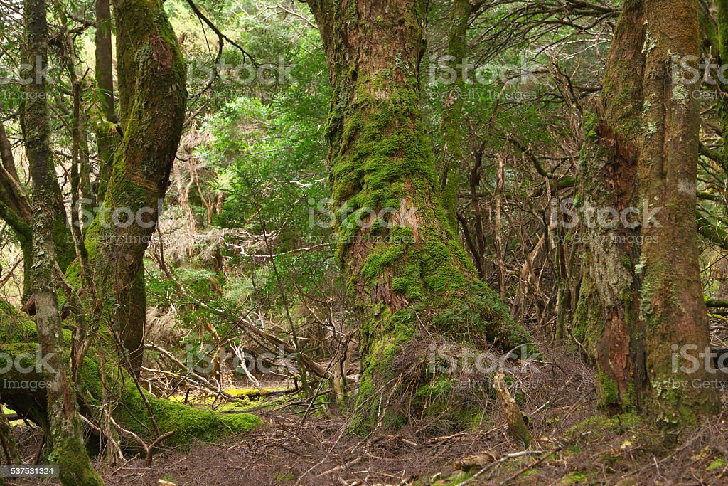 The enchanted walk in world heritage cradle mountian area tasmania stock photo