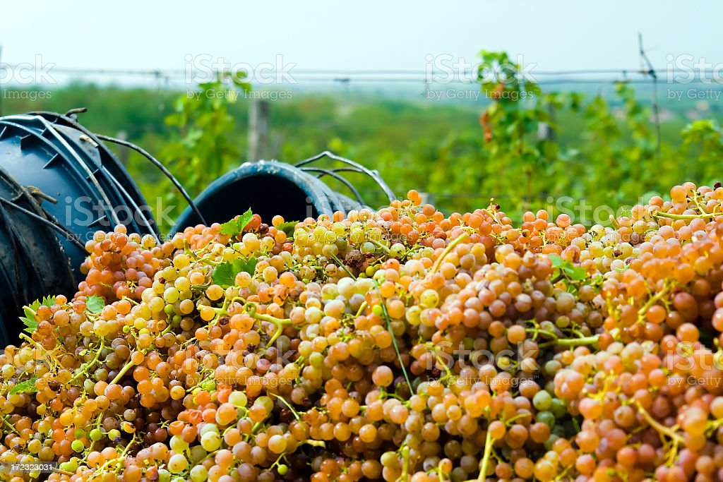 The end of grape picking royalty-free stock photo