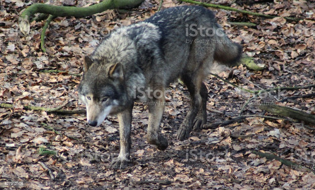 The Eurasian wolf (Canis lupus lupus) stock photo