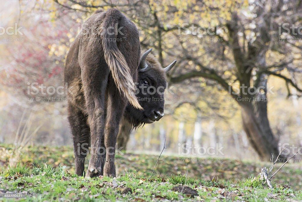 The European bison (Bison bonasus) stock photo
