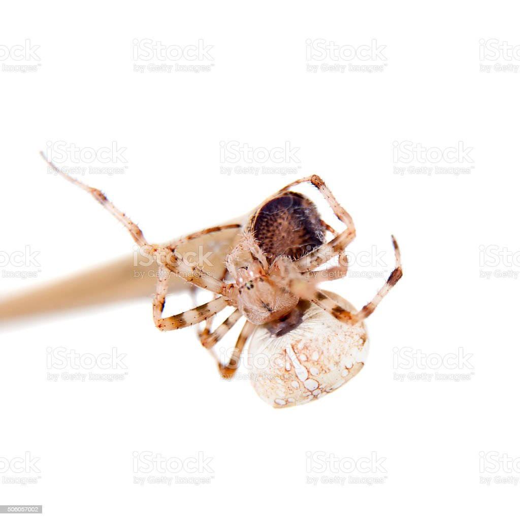 The european garden spider, araneus diadematus, female on white stock photo