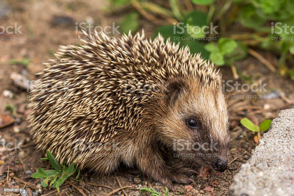 The European hedgehog (Erinaceus europaeus) stock photo