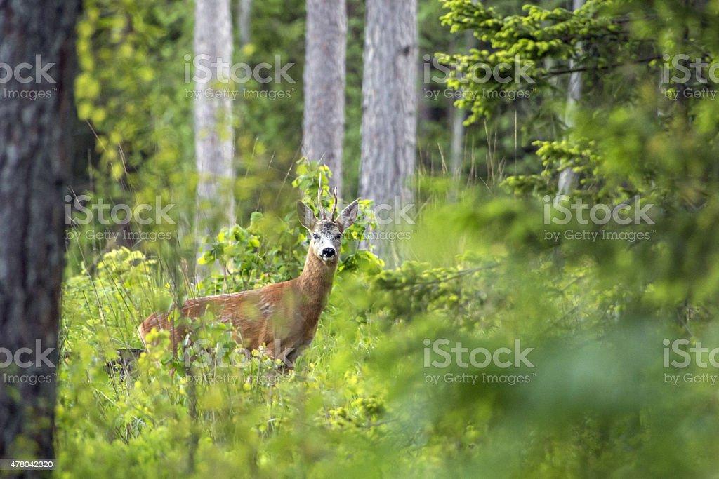 The European roe deer (Capreolus capreolus) stock photo