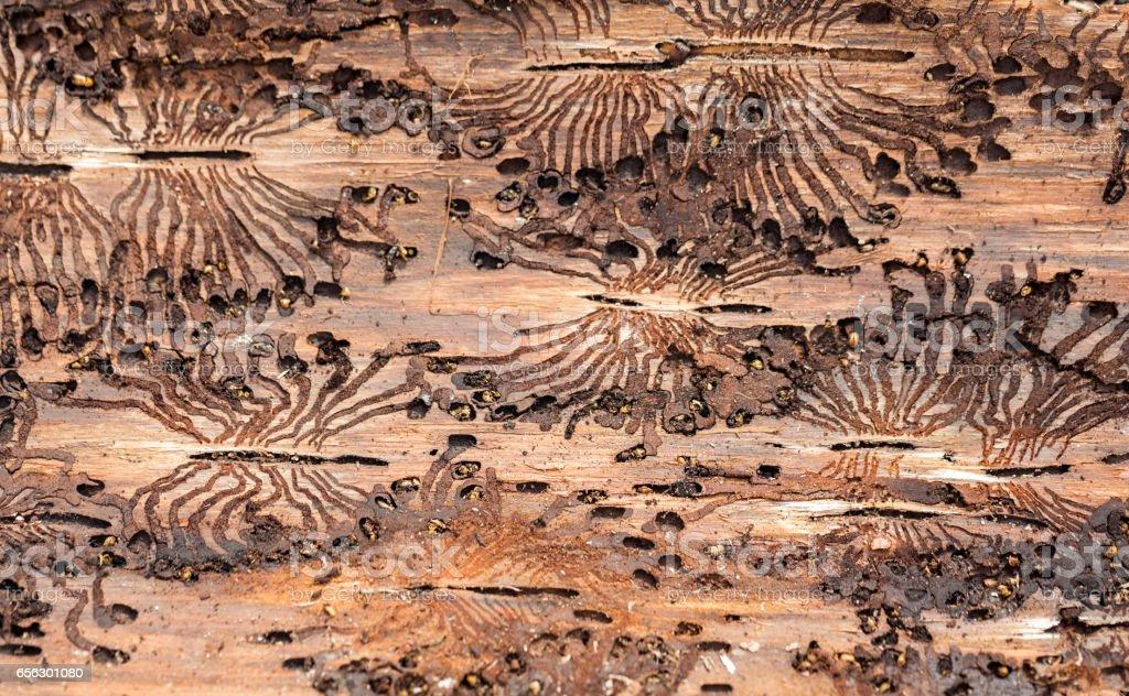 The European spruce bark beetle. Traces of a pest on a tree bark stock photo