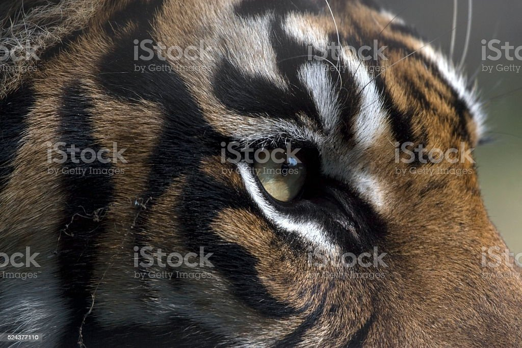 The eye of the tiger stock photo
