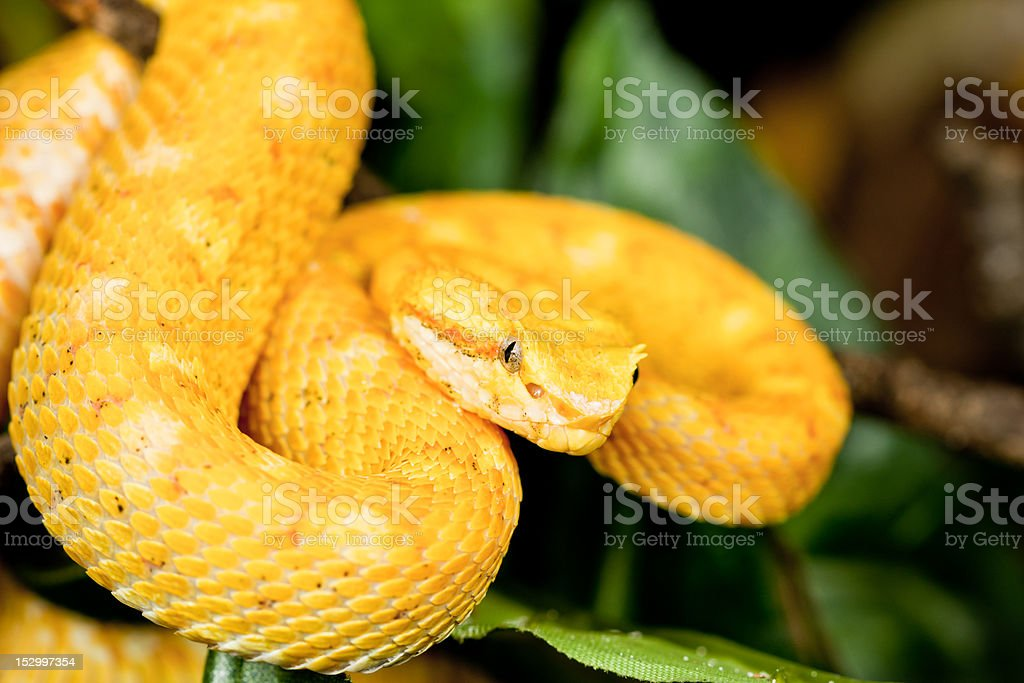The Eyelash Viper (Bothriechis schlegelii) stock photo