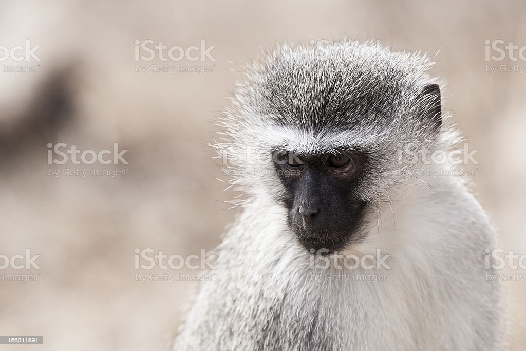 the face african monkey royalty-free stock photo