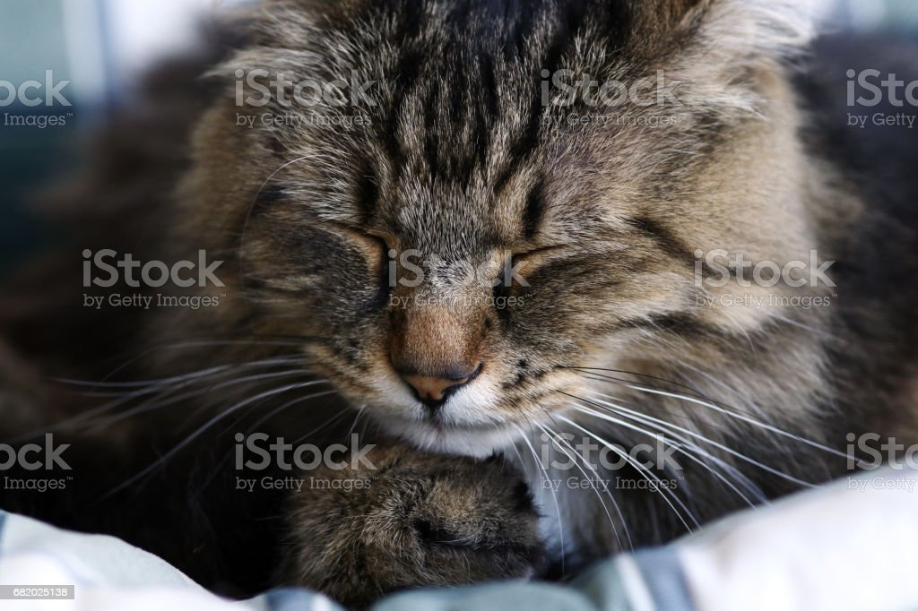 The face of a sleeping Norwegian forest cat stock photo