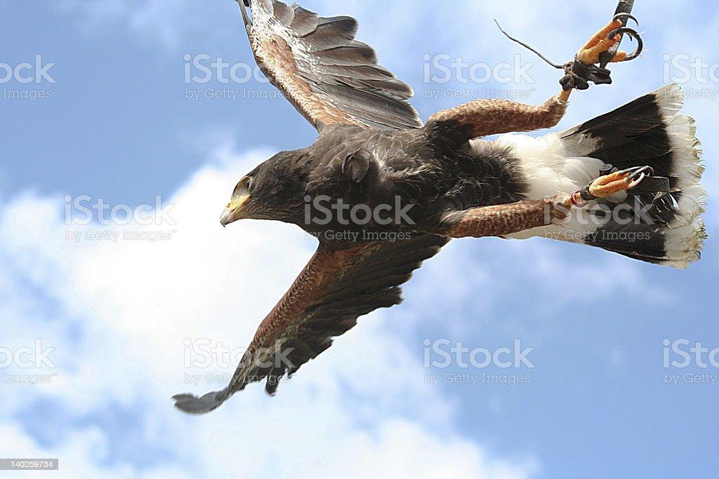 The Falcon stock photo