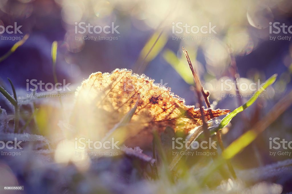 The fallen autumn leaf in hoarfrost stock photo
