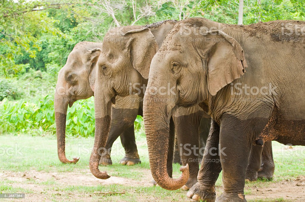 The family of elephant in the forest stock photo