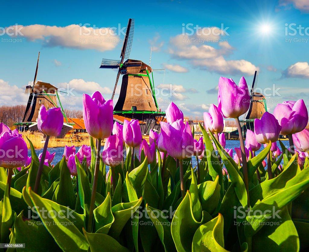 The famous Dutch windmills stock photo