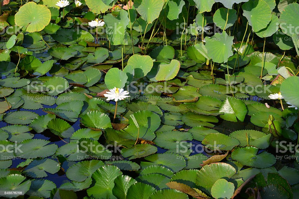 The famous lily pond ' s in sight stock photo