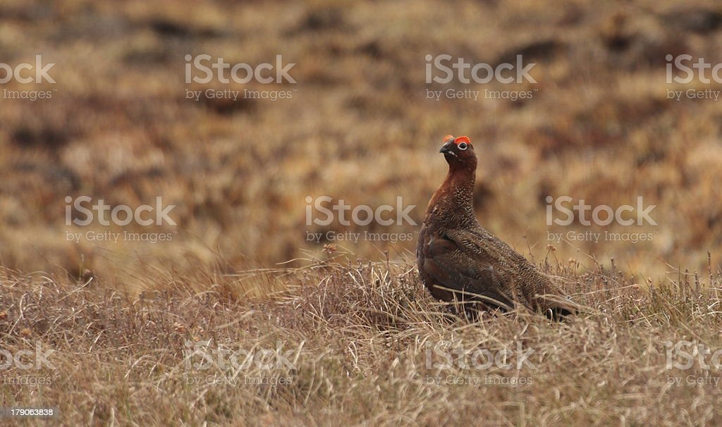 The Famous Red Grouse stock photo