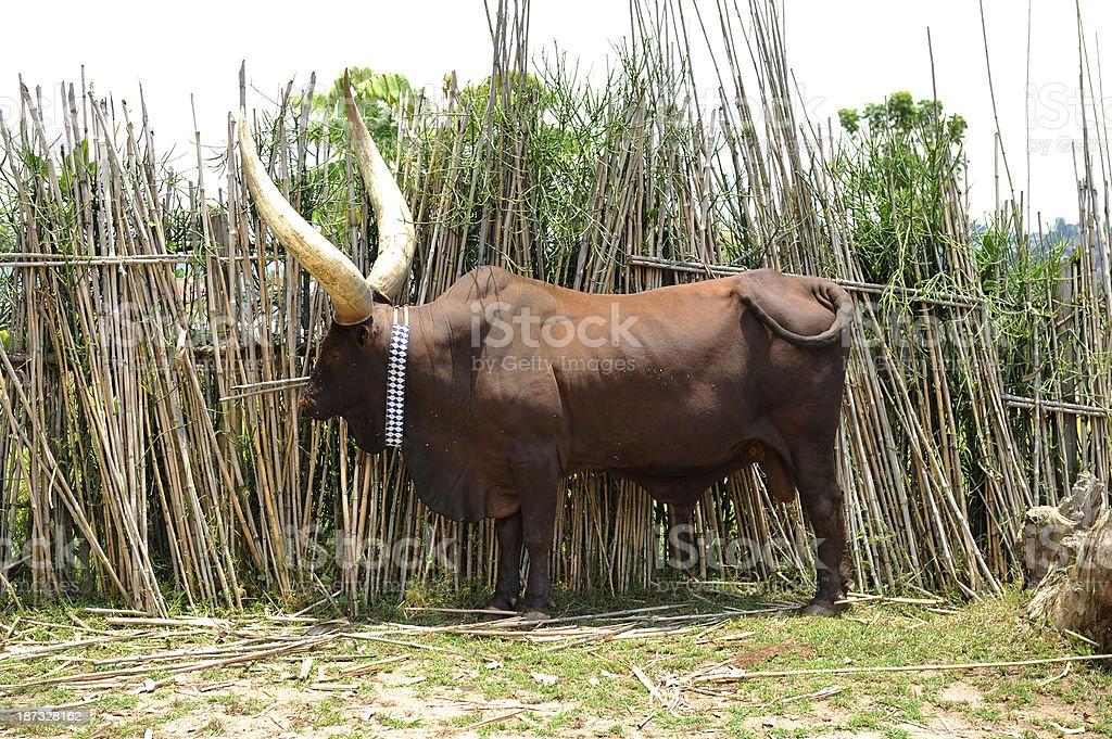 The famous rwandan royal cows stock photo