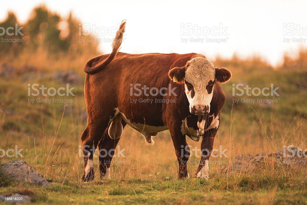The farm bully royalty-free stock photo
