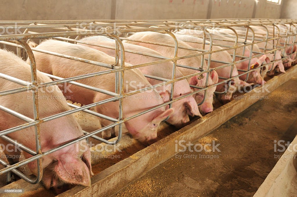 The farm pigs stock photo