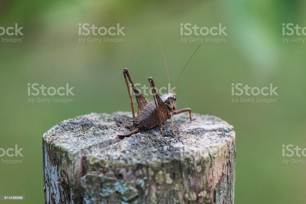The female green grasshopper autumn on the stump stock photo