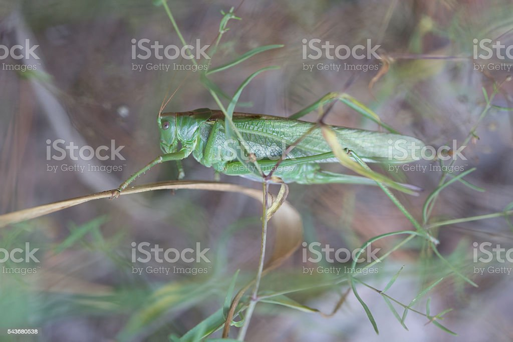 The female green grasshopper in the forest stock photo