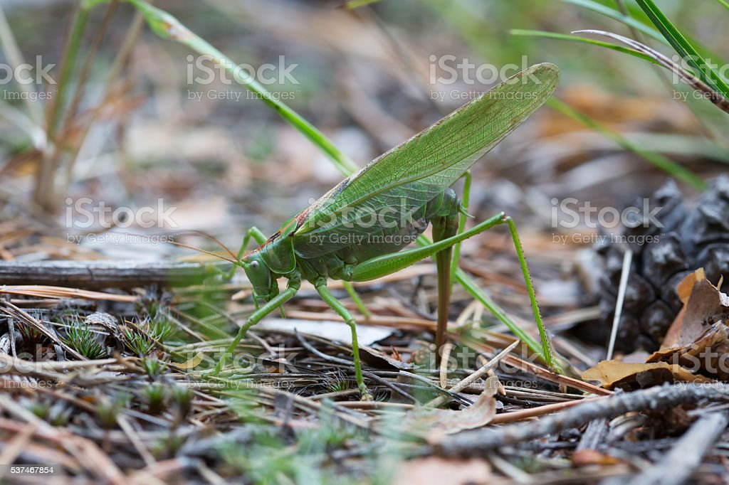 The female green grasshopper lays her eggs in the earth stock photo