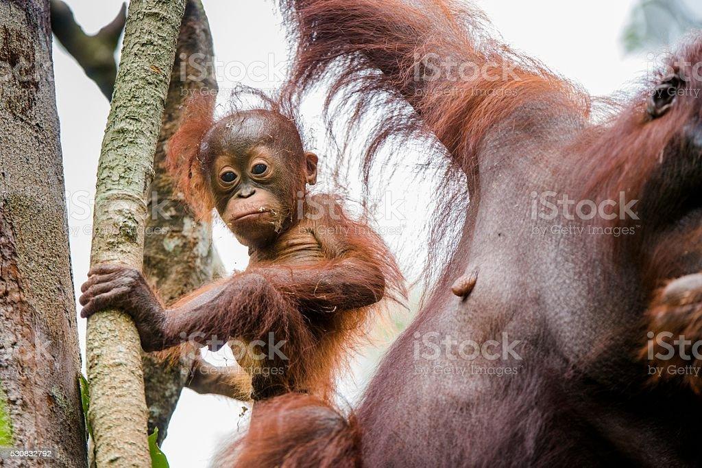 The female of the orangutan with a cub. stock photo