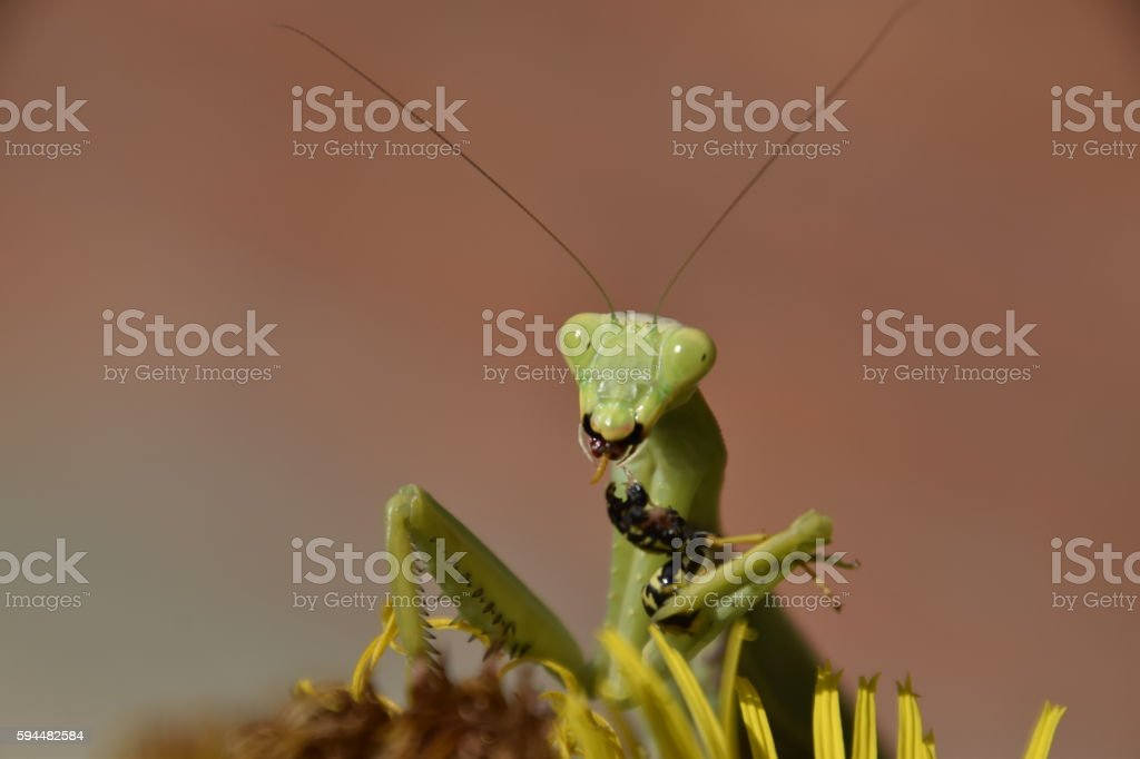 The female praying mantis devouring wasp stock photo