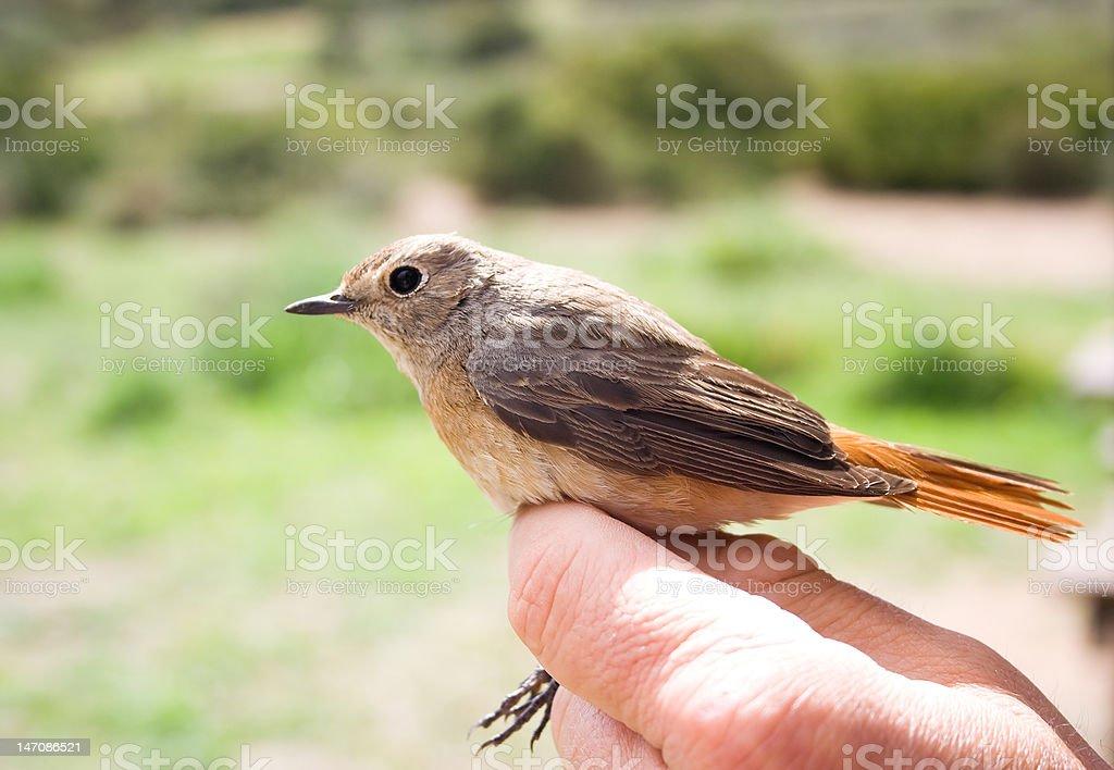 The Female Redstart. royalty-free stock photo