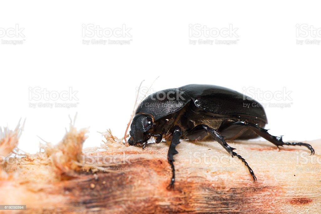 The female rhinoceros beetle sit on the sugarcane stock photo