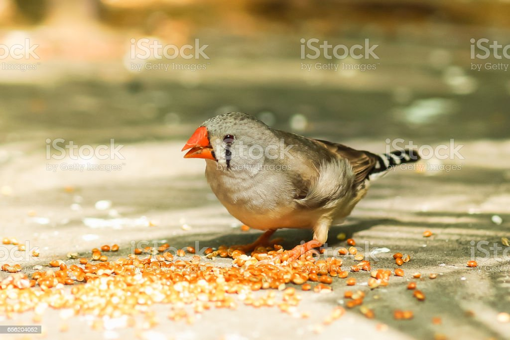 The female Zebra finches (lat. Taeniopygia guttata) is a bird of the family of finches weaverbirds stock photo