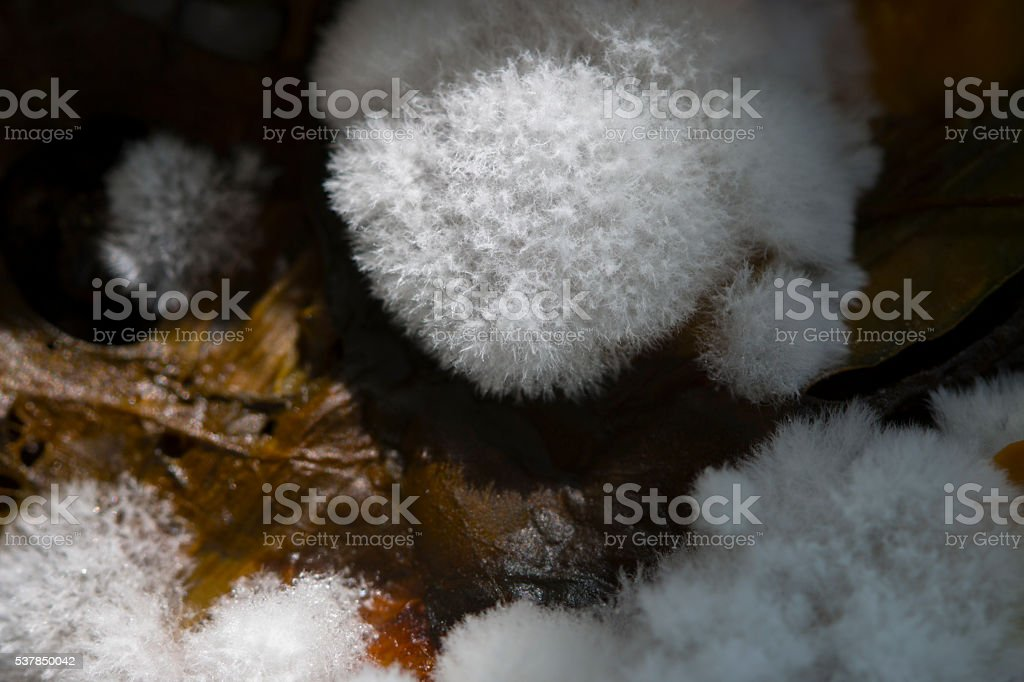 The fibers of the white fungus stock photo