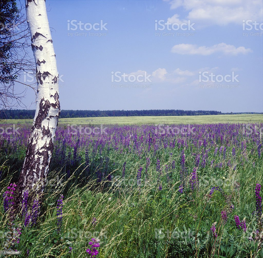 The field of bluebonnets. stock photo