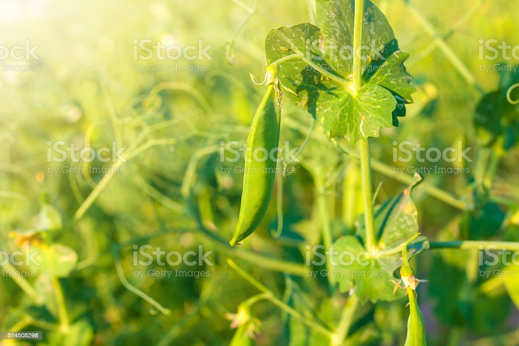The field of green peas stock photo