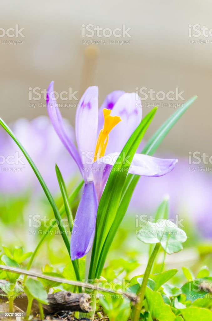 The field with crocuses in the wild nature stock photo
