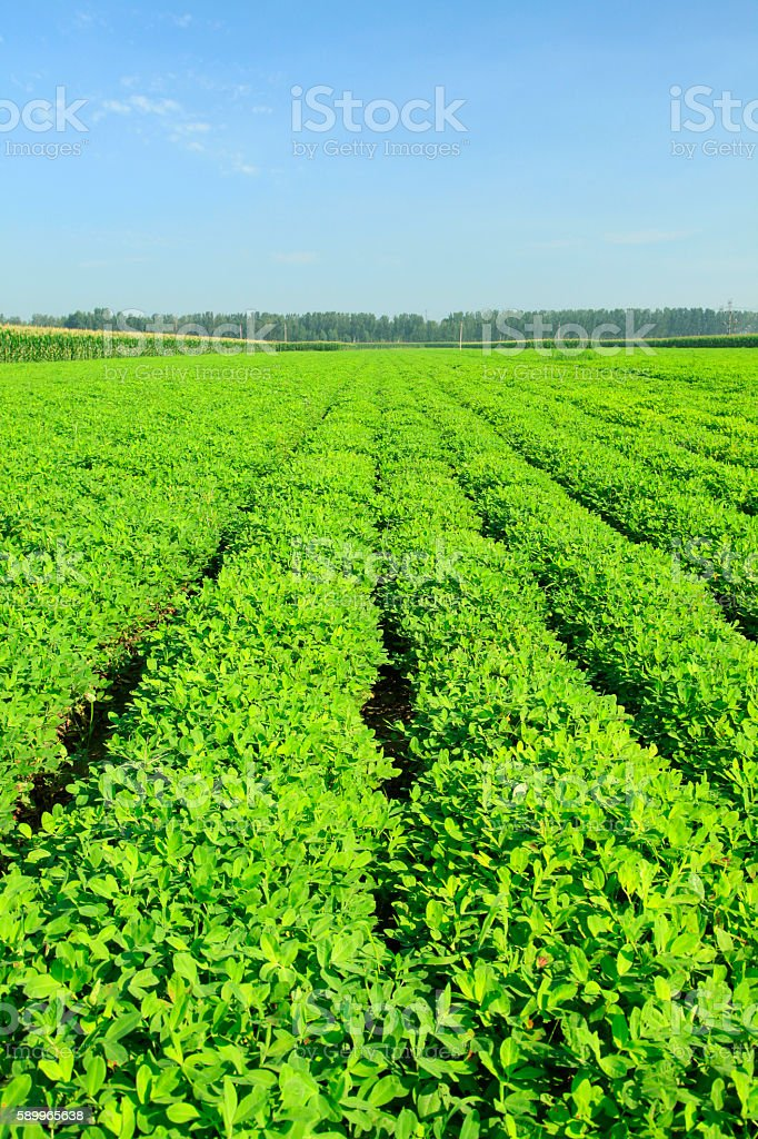 The fields of peanuts stock photo