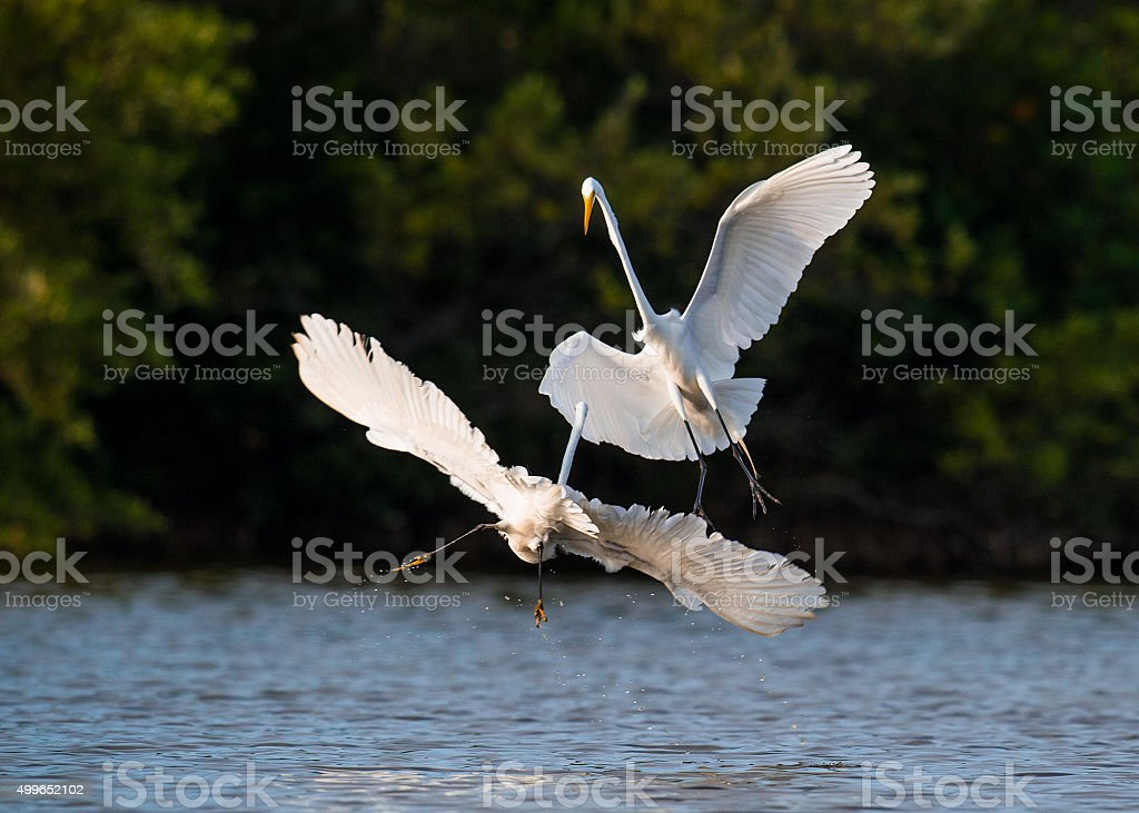 The fighting great egrets (Ardea alba). stock photo