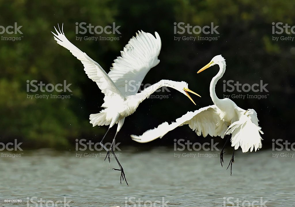 The fighting great egrets stock photo