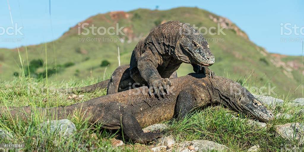 The Fighting Komodo dragons stock photo