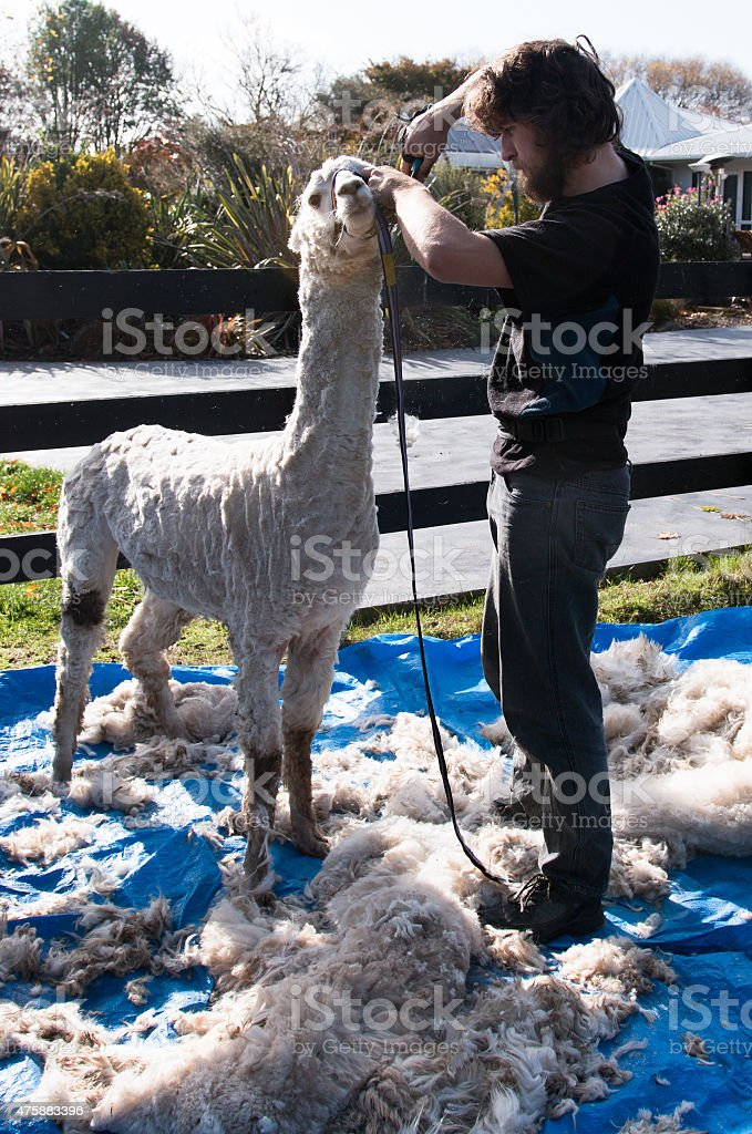The finished Alpaca getting some final touch ups stock photo