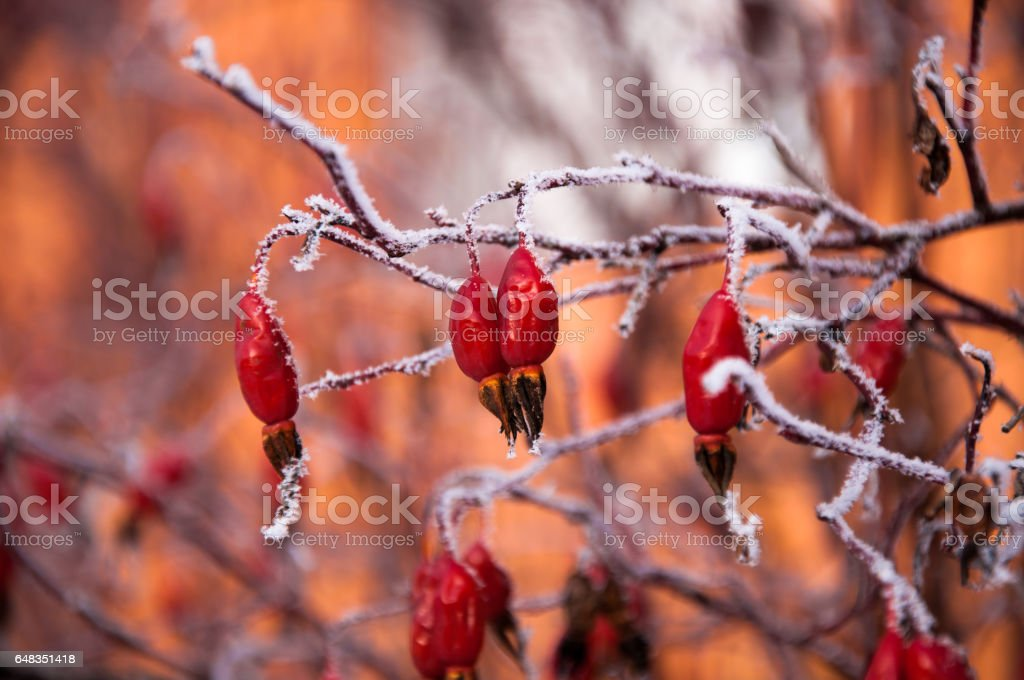 The fir branch covered by the snow stock photo