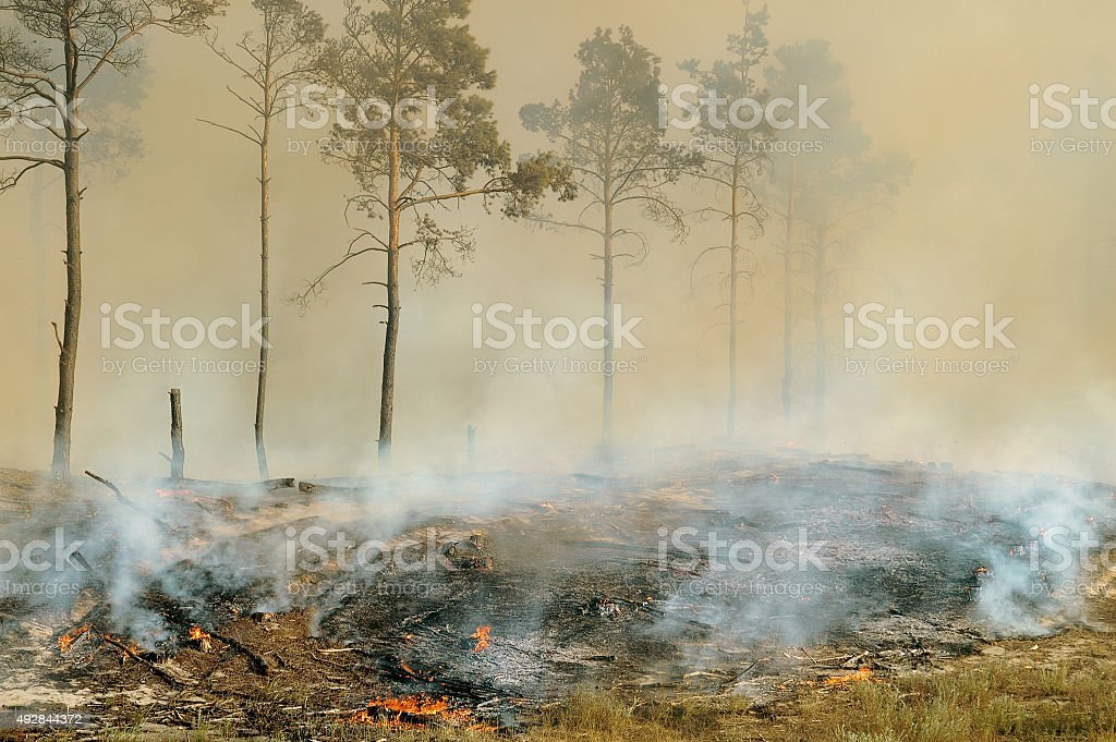 The fire in the forest. Burning dry grass near the pines. stock photo